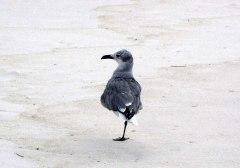 beach-gull